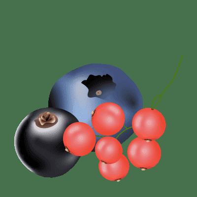 illustration de baies : cassis, myrtille et groseilles