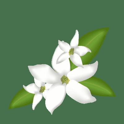 illustration de fleurs de Jasmin